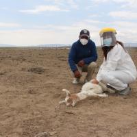 Ganaderos de Colchane preocupados por inusuales ataques a su ganado