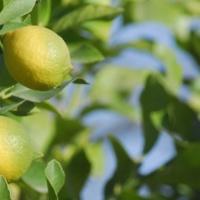 SAG establece nuevas medidas para suprimir plagas no cuarentenarias de viveros de cítricos