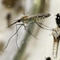 Llaman a entregar ejemplares sospechosos de mosquitos