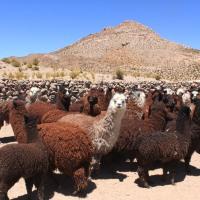 Colchane se adjudica siete proyectos de recuperación de suelos degradados en que se utilizará técnicas ancestrales