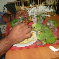 Tráfico de animales: 234 ejemplares ha decomisado el SAG en los últimos 10 años